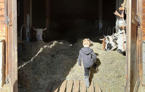Valsesia fattoria mucche
