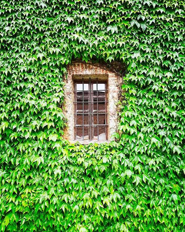 finestra con rampicanti
