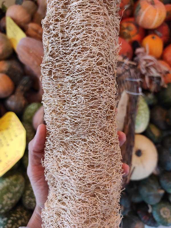 luffa cilindrica spugna piemonte tutto zucche